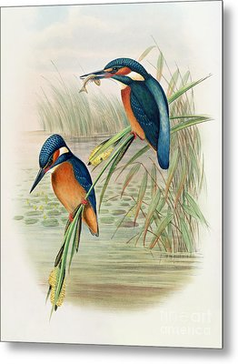 Alcedo Ispida Plate From The Birds Of Great Britain By John Gould Metal Print by John Gould William Hart