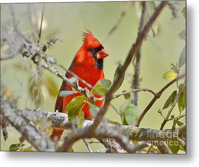 All Dressed In Red Metal Print by Kathy Baccari