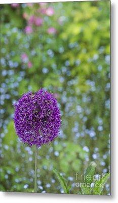 Allium Hollandicum Purple Sensation Flower Metal Print by Tim Gainey