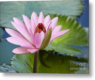 Almost In Full Bloom Metal Print by Sabrina L Ryan