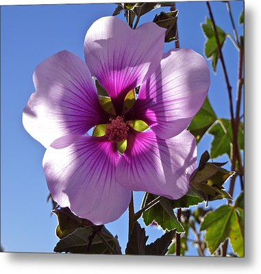 Althea Flower Metal Print by K L Kingston