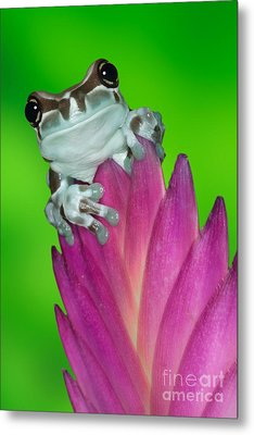 Amazon Milk Frog Trachycephalus Metal Print by Dennis Flaherty