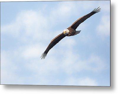 American Bald Eagle In Flight Metal Print by Bill Wakeley