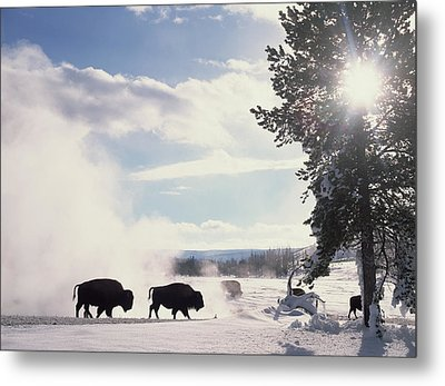 American Bison In Winter Metal Print by Tim Fitzharris
