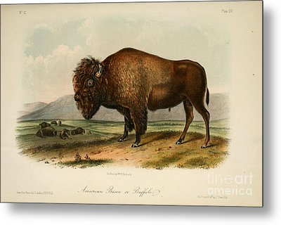 American Bison  Metal Print by Celestial Images
