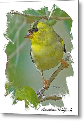 American Goldfinch Metal Print by Larry Linton