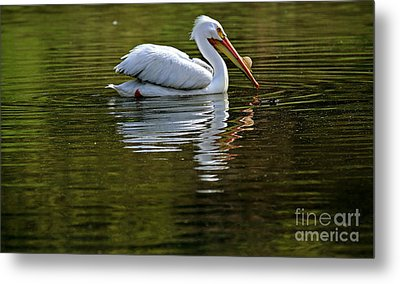 American White Pelican Metal Print by Elizabeth Winter