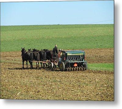 Amish Farmer In Field Metal Print by Sara Knob