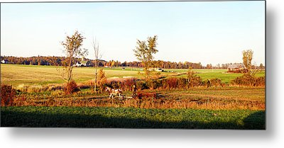 Amish Farmer Plowing A Field, Usa Metal Print by Panoramic Images