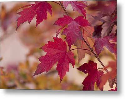 Among Maples Metal Print by Chad Dutson