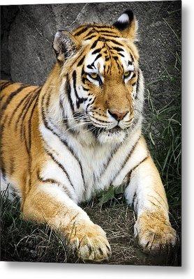 Amur Tiger Metal Print by Adam Romanowicz