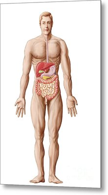 Anatomy Of Human Digestive System, Male Metal Print by Stocktrek Images