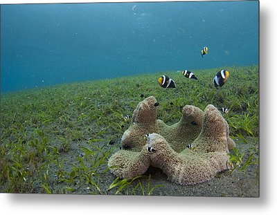 Anemonefish In Seagrass In Indonesia Metal Print by Science Photo Library