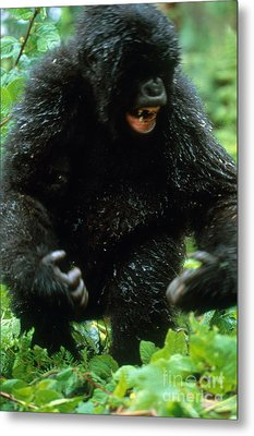 Angry Mountain Gorilla Metal Print by Art Wolfe