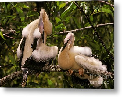 Anhinga Chicks Metal Print by Ron Sanford