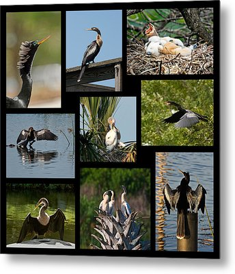 Anhinga Collage Metal Print by Dawn Currie