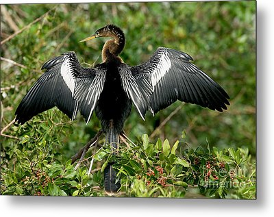 Anhinga Sunning Metal Print by Anthony Mercieca