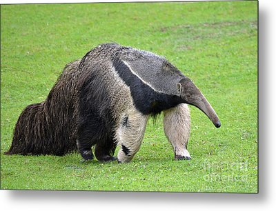 Anteater Ready To Eat Some Ants Metal Print by Jim Fitzpatrick