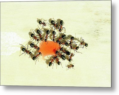 Ants Feeding Metal Print by Heiti Paves