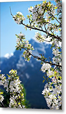 Apple Blossoms Frame The Rockies Metal Print by Lisa Knechtel