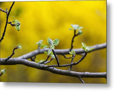 Apple Flower Buds Against A Yellow Metal Print by Laura Berman