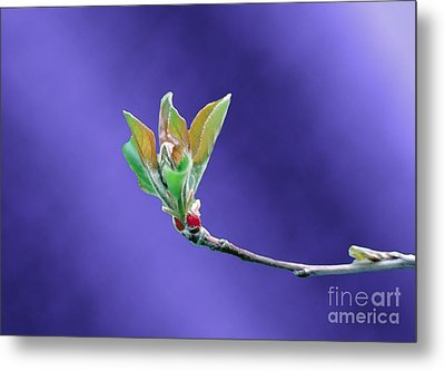 Apple Tree Blossom Spring Flower Bud Metal Print by ImagesAsArt Photos And Graphics