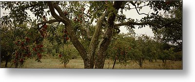 Apple Trees In An Orchard, Sebastopol Metal Print by Panoramic Images