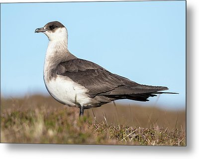 Arctic Skua Or Parasitic Jaeger Or Metal Print by Martin Zwick