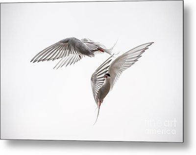 Arctic Tern - Sterna Paradisaea - Pas De Deux  Metal Print by Ian Monk