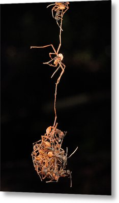 Army Ants Building Bivouac Metal Print by Mark Moffett