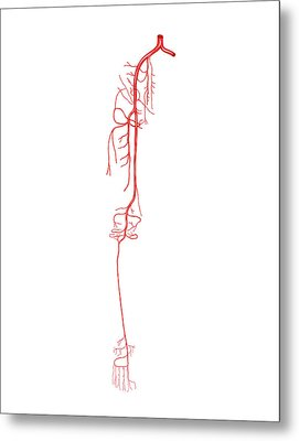 Arterial System Of The Leg Metal Print by Asklepios Medical Atlas
