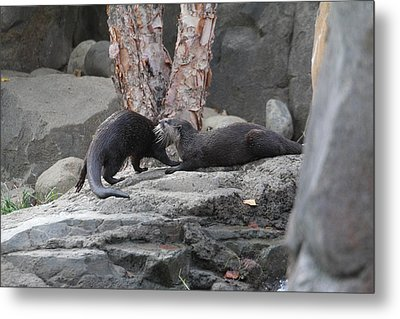 Asian Small Clawed Otter - National Zoo - 01131 Metal Print by DC Photographer