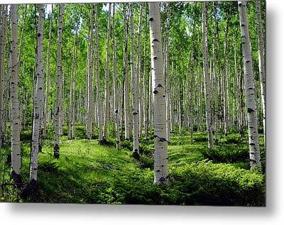 Aspen Glen Metal Print by The Forests Edge Photography - Diane Sandoval