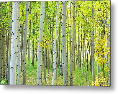Aspen Tree Forest Autumn Time  Metal Print by James BO  Insogna