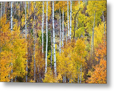 Aspen Tree Magic Metal Print by James BO  Insogna