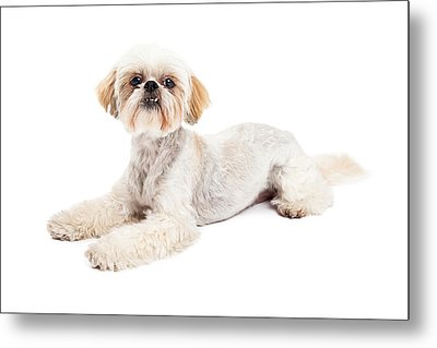 Attentive Maltese And Poodle Mix Dog Laying Metal Print by Susan  Schmitz