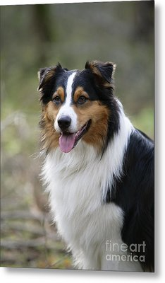 Australian Shepherd Dog Metal Print by John Daniels