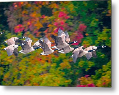 Autumn Flight Metal Print by Brian Stevens