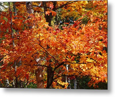 Autumn Gold Metal Print by Pat Speirs