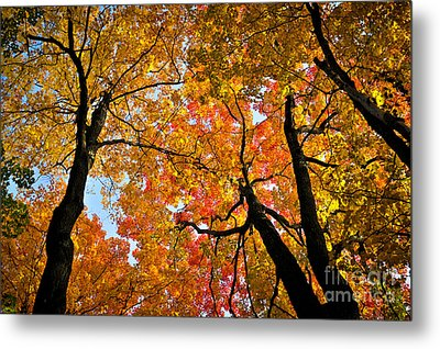 Autumn Maple Trees Metal Print by Elena Elisseeva