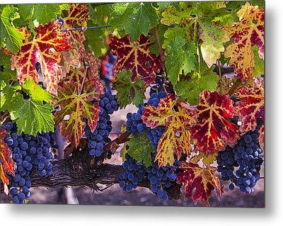 Autumn Wine Grape Harvest Metal Print by Garry Gay