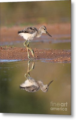 Avocet Chick  Metal Print by Ruth Jolly