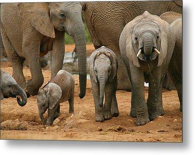 Baby African Elephants Metal Print by Bruce J Robinson