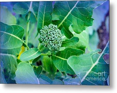 Baby Broccoli - Vegetable - Garden Metal Print by Andee Design