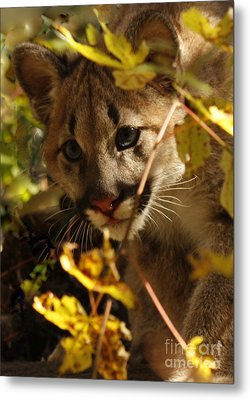 Baby Cougar Watching You Metal Print by Inspired Nature Photography Fine Art Photography