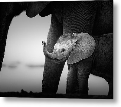 Baby Elephant Next To Cow  Metal Print by Johan Swanepoel