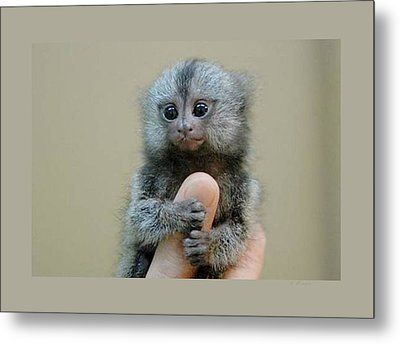 Baby Finger Monkey Beige Background Metal Print by L Brown