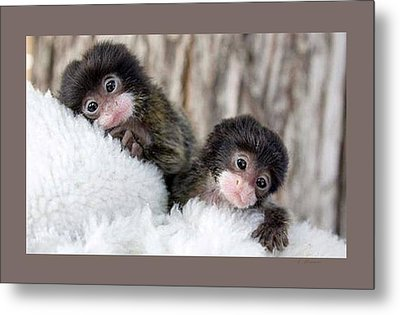 Baby Finger Monkeys Grey Border Metal Print by L Brown