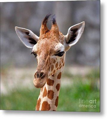 Baby Giraffe Metal Print by Louise Heusinkveld