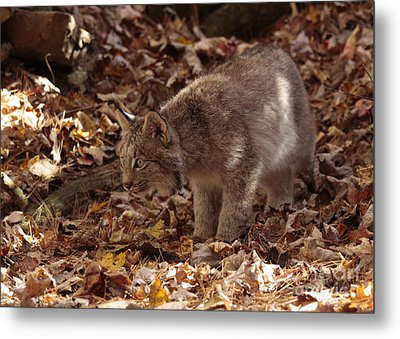 Baby Lynx On The Look Out Metal Print by Inspired Nature Photography Fine Art Photography